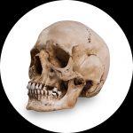 Reference kranium af Skull Shoppe